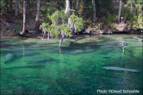 Manatees gather at Blue Spring State Park.