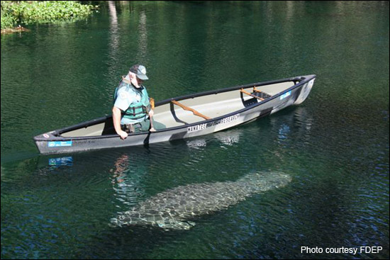 Wayne Hartley conducts manatee research at Blue Spring State Park.