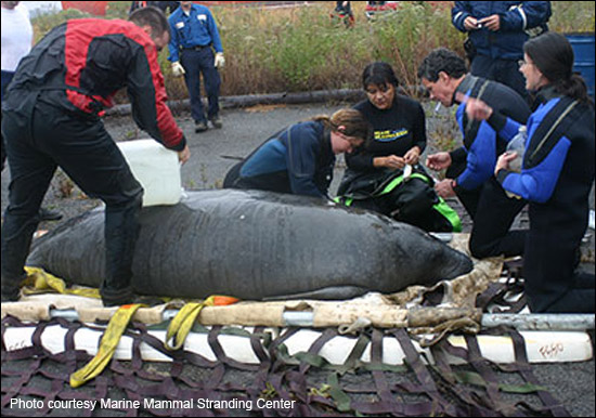 Ilya the manatee is rescued in New Jersey in 2009.