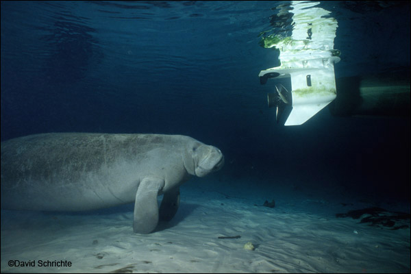 David Schrichte photo of a manatee near a boat propeller.