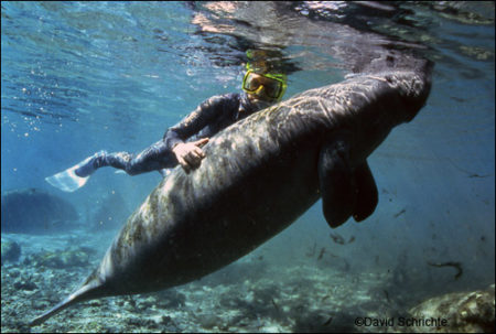 David Schrichte photo of a person riding a manatee.