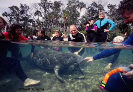 David Schrichte photo of people surrounding a manatee.