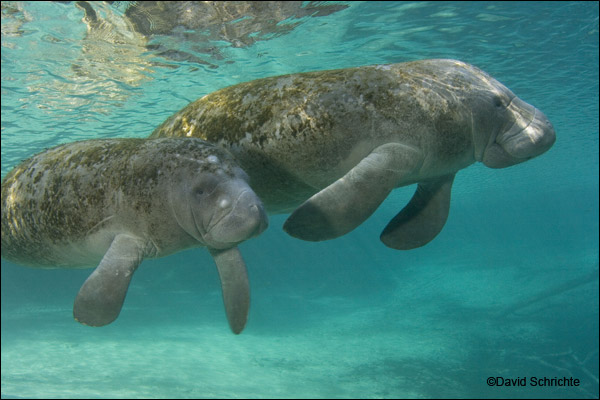 David Schrichte manatee photo.