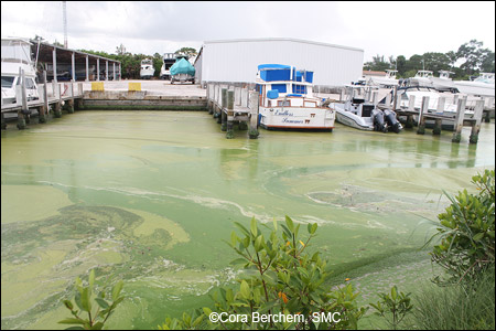 Algae-infested waters at a marina in Stuart, Florida in July.