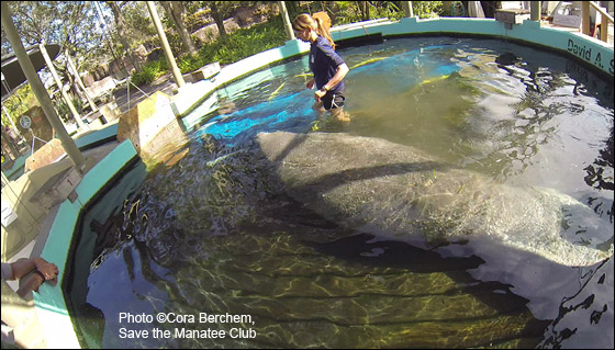 Leesburg the manatee receives care at Lowry Park Zoo.