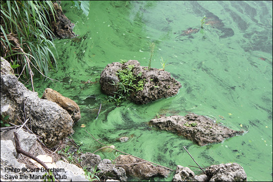 A closeup view of the algae bloom at the St. Lucie Lock and Dam in Stuart, Florida in early July, 2016.