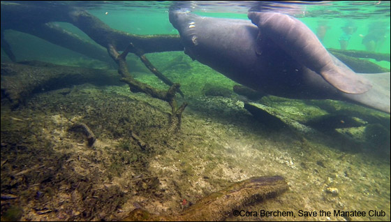 Manatee Annie and calf.
