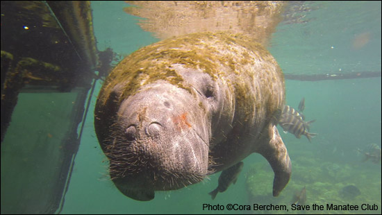 Electra the manatee.