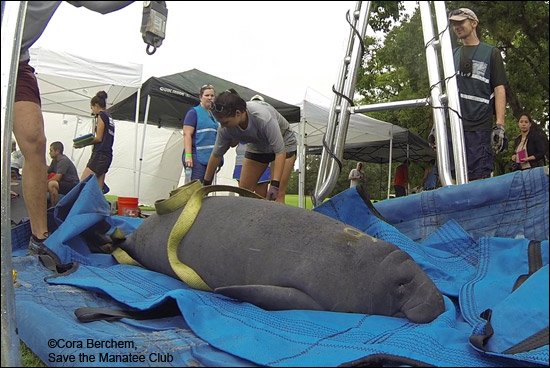 A manatee is weighed as part of a health assessment prior to being released.