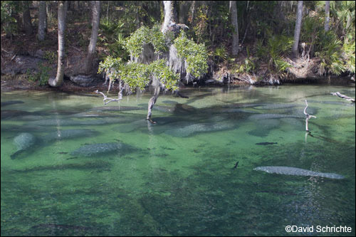 Manatees wintering at Blue Spring State Park.