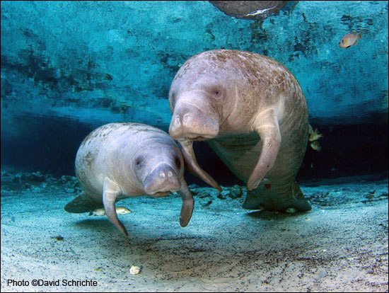 David Schrichte photo of two manatees.