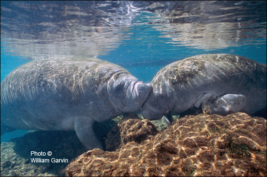 Electra and Rosie the manatees.