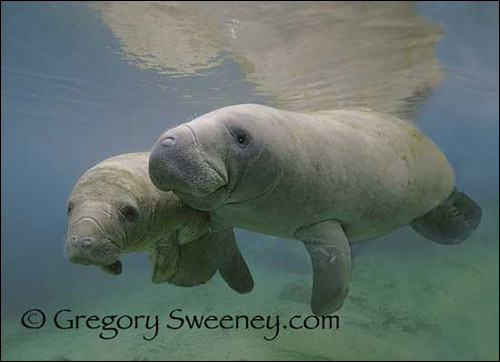 Gregory Sweeney manatee photo