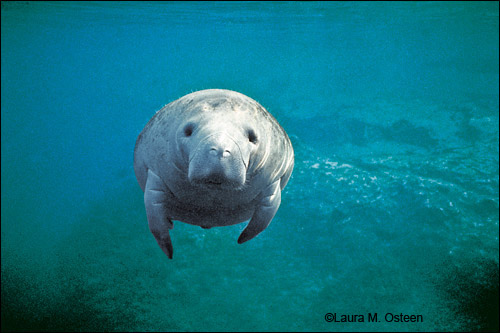 Laura M. Osteen manatee photo