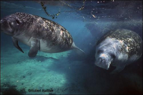 Robert Rattner manatee photo