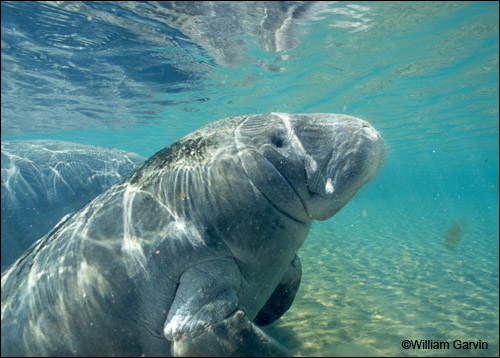 William Garvin manatee photo