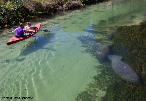 Kayakers demonstrate the best way to view manatees in the wild