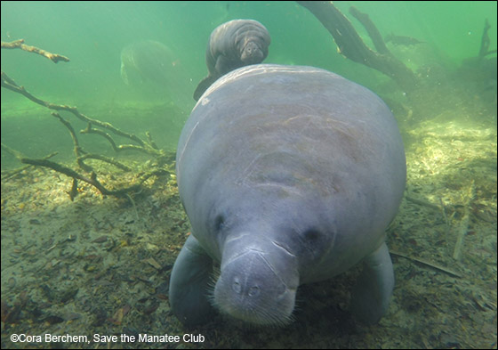 Lemon the manatee and her newborn calf Lime.