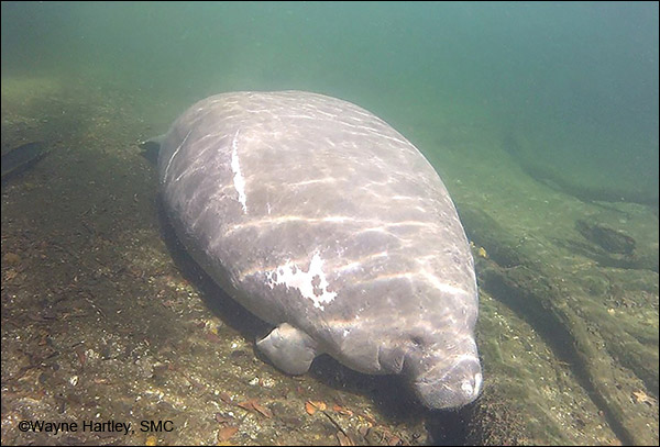 Lily the manatee