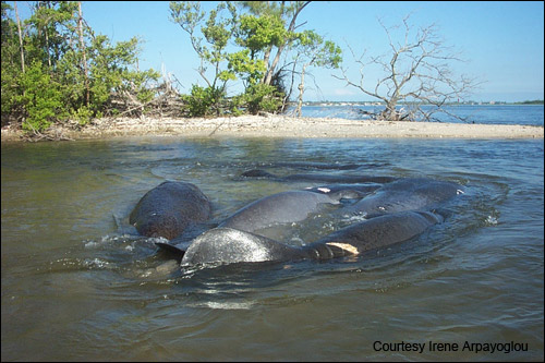 Manatee mating herd