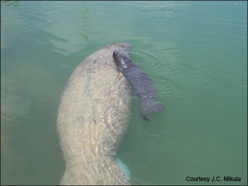 Manatee mom and newborn calf