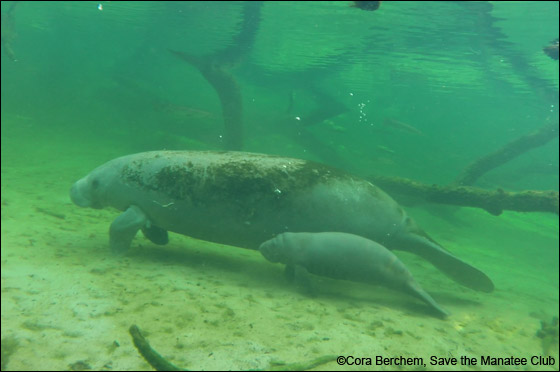 Amber the manatee and her little calf.