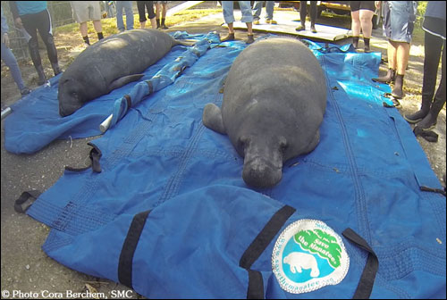 Manatees Ace and Venice await release.