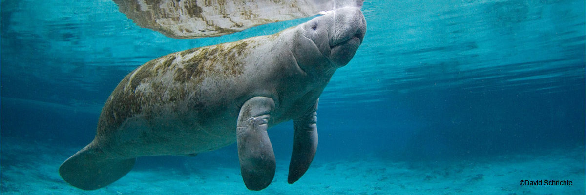 Reproduction Save The Manatee Club