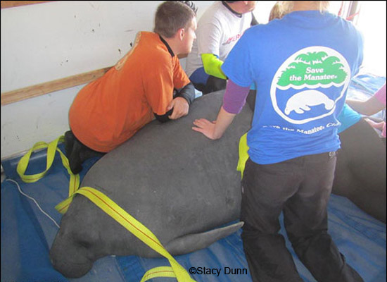 Longo the manatee is released at TECO.