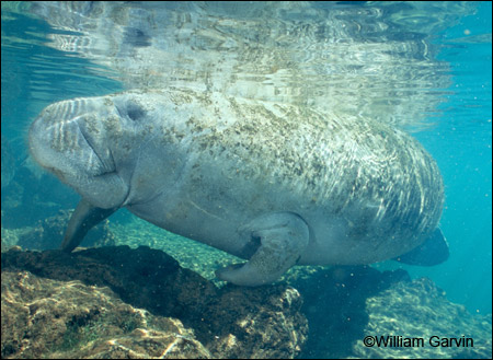 Betsy the manatee by William Garvin.