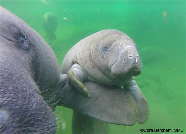Dallas the manatee and her calf