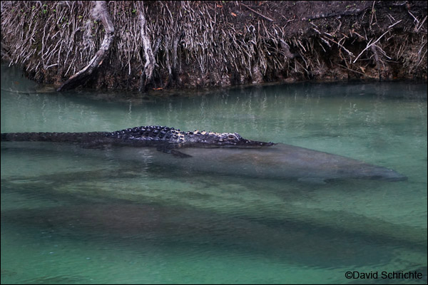 Manatee and Alligator at Blue Spring State Park.