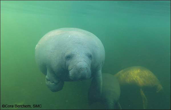 Lucille the manatee