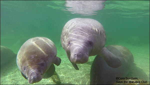 Annie the manatee and her calf.