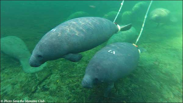 Cassie and Buckeye, tagged manatees, at Blue Spring State Park.