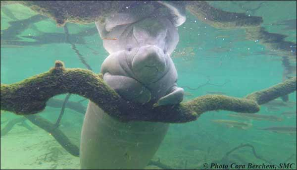 Manatee resting on a branch at Blue Spring State Park.