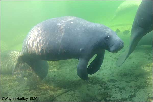 Nick the manatee