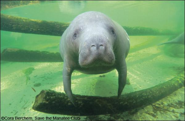 Moo Shoo the manatee