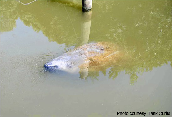 Chessie the manatee is spotted in the Chesapeake Bay in Calvert County, Maryland on July 12, 2011.