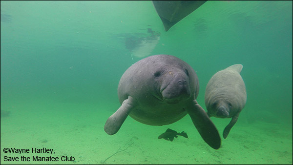 Manatee mother and calf.