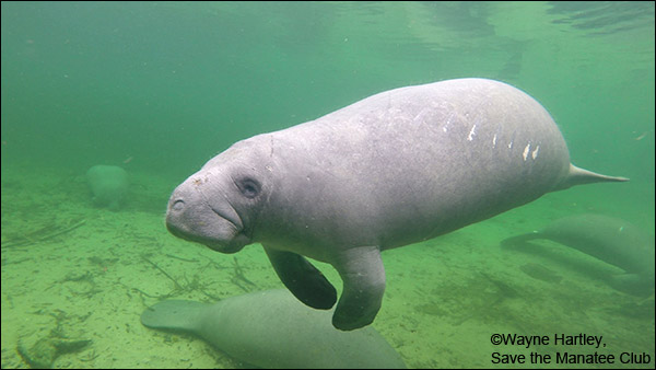 "The manatee known as ""ProManatee."""