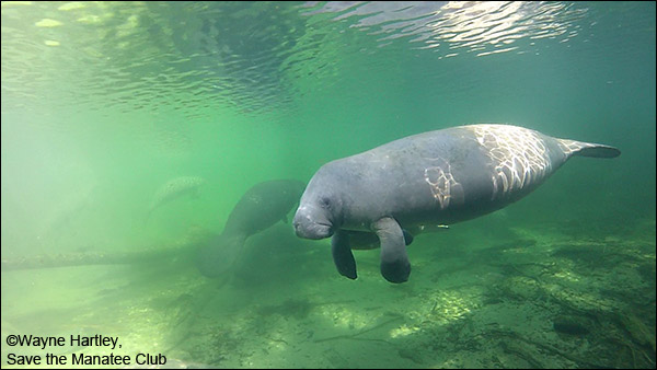 Swimming manatee at Blue Spring State Park.