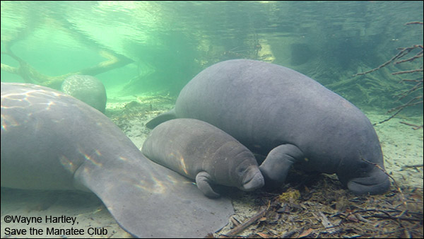 Paula the manatee and her calf.