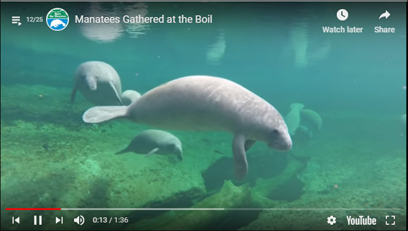 Manatees gathered at the Blue Spring Boil