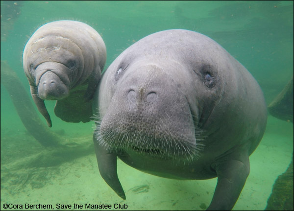 A manatee mother and calf