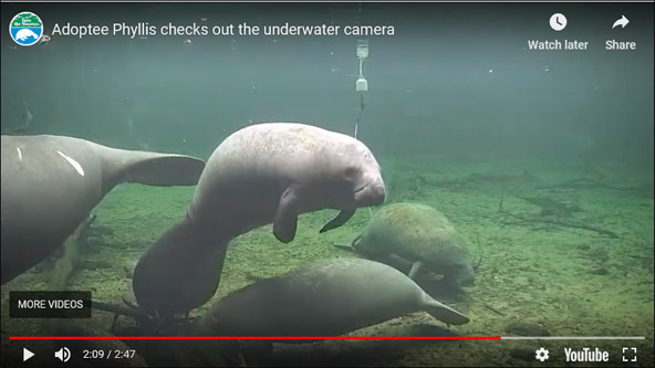 Phyllis the manatee and others on the webcams.