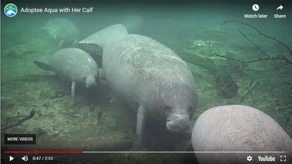 Aqua and calf on the webcams.