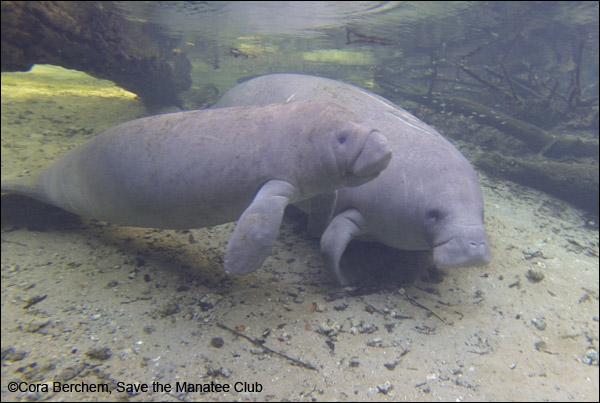 Aqua the manatee and her calf
