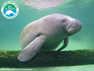 Manatee on a branch wallpaper