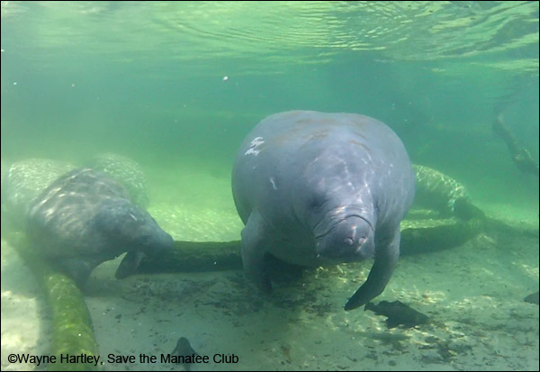 Flash the manatee